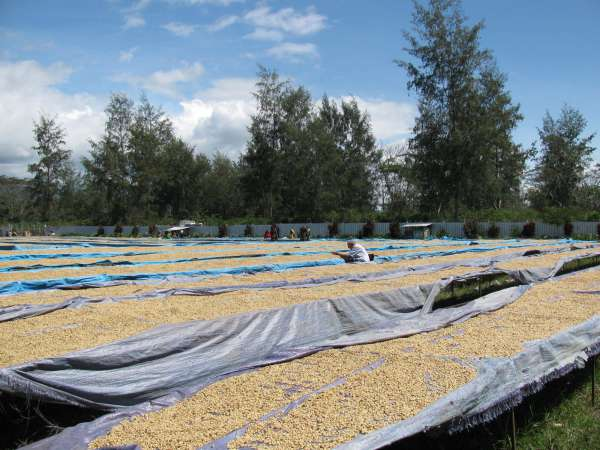 Coffee drying beds, PNG.